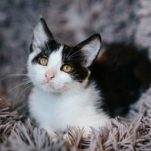 1838 - Shellington - Domestic Short Hair Cat