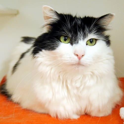Puddin Rsua004517 - Domestic Medium Hair Cat