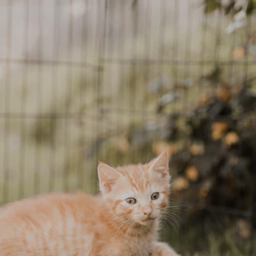 Jughead  - Domestic Short Hair Cat