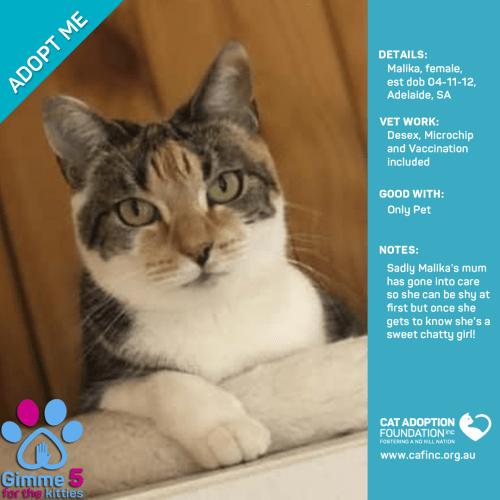 Malika - Domestic Short Hair Cat