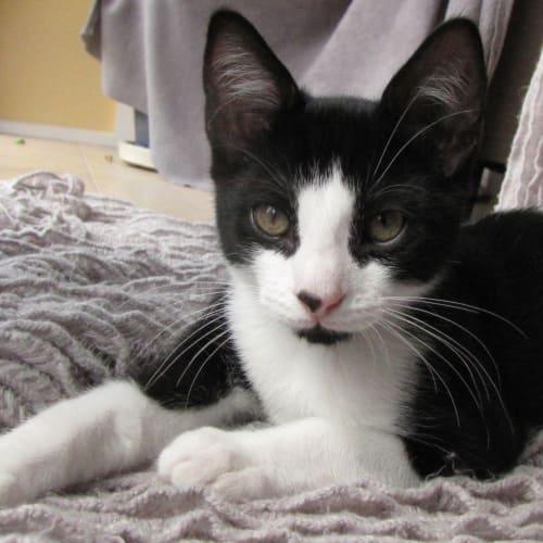 Zipper - Located in Eltham - Domestic Short Hair Cat