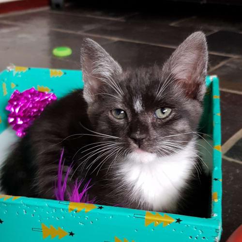 Nicky - Domestic Short Hair Cat