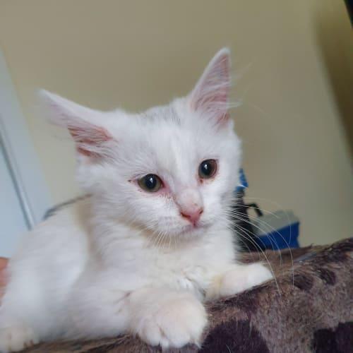 Snowy - Domestic Medium Hair Cat