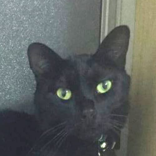 Jamahl - Domestic Short Hair Cat