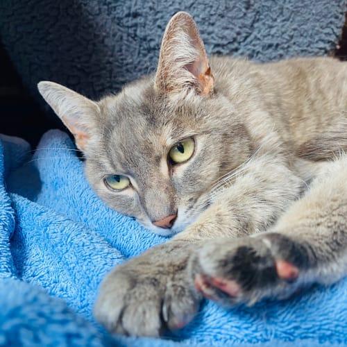 Coco - Meet me at Neko HQ Preston  - Domestic Short Hair Cat