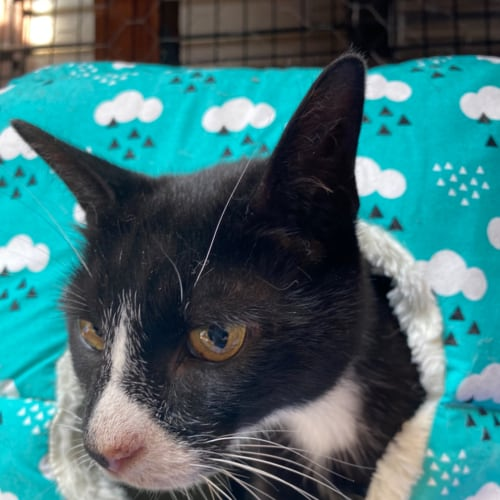 Ziggy - Meet me at Neko HQ Preston  - Domestic Short Hair Cat