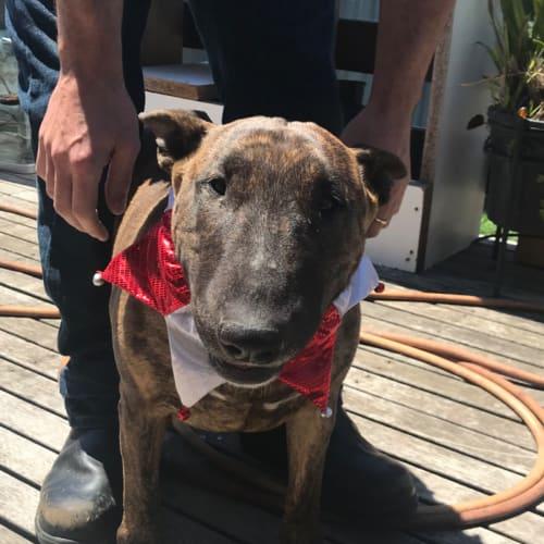 Zelda - foster carer needed - Bull Terrier Dog