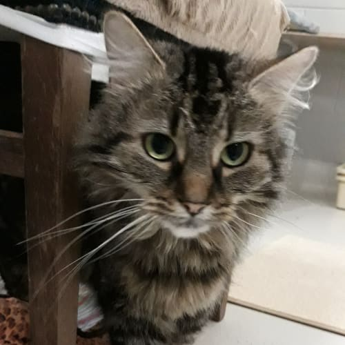 Louie - Domestic Long Hair Cat