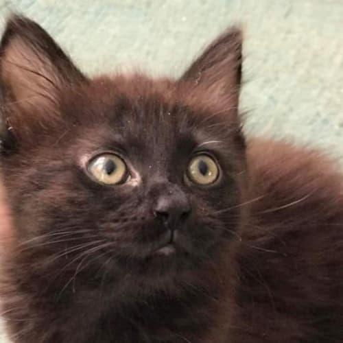 Kim - Domestic Medium Hair Cat