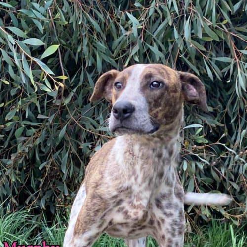 Murphy - Pointer Dog