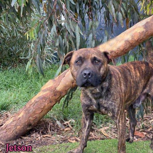 Jetson - Staffy Dog