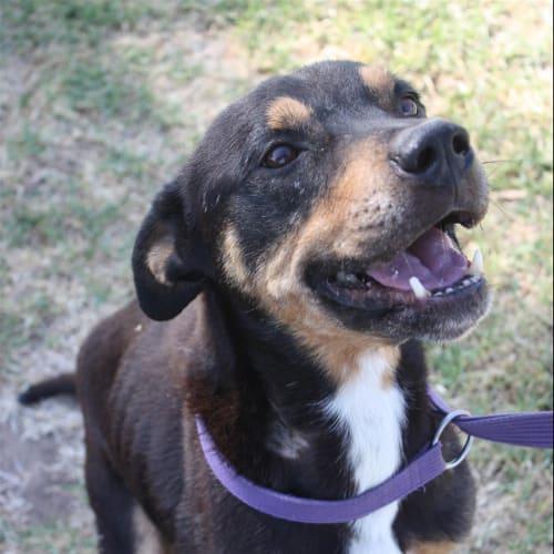 Devon - American Staffordshire Terrier x Kelpie X Dog