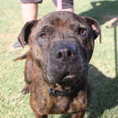 Sparky  - Staffordshire Bull Terrier X Dog