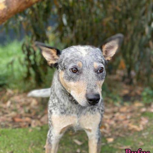Rufus - Australian Cattle Dog