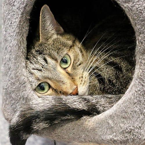 Serafina - Domestic Short Hair Cat