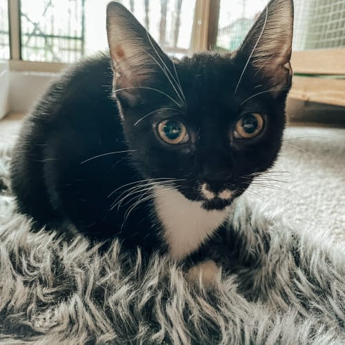 Whiskers - Domestic Short Hair Cat