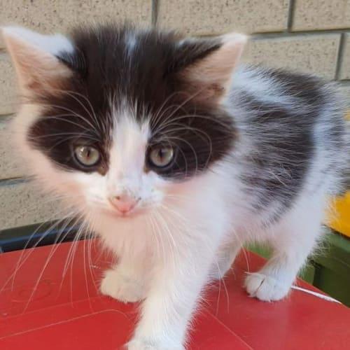 Mico - Domestic Medium Hair Cat
