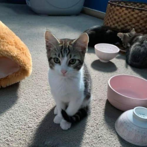 Minxy - Domestic Short Hair Cat