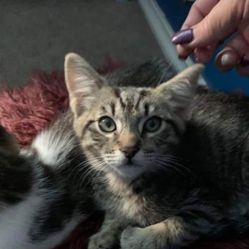 Lee - Domestic Short Hair Cat
