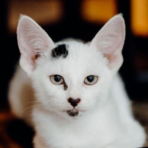 Loco - Domestic Short Hair Cat