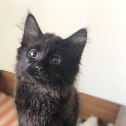 Loui - Domestic Short Hair Cat