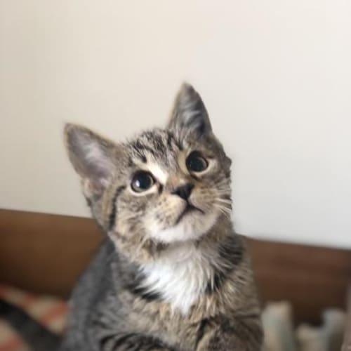 Humble - Domestic Medium Hair Cat