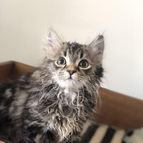 Crumble - Domestic Medium Hair Cat