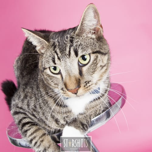 Norman - Domestic Short Hair Cat
