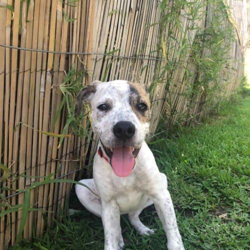 Tallulah - Mastiff Dog
