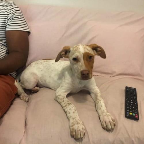 Petunia - Mastiff Dog