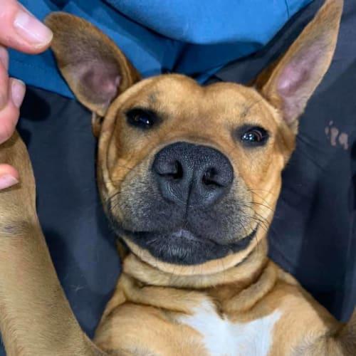 Rusty - Staffy Dog