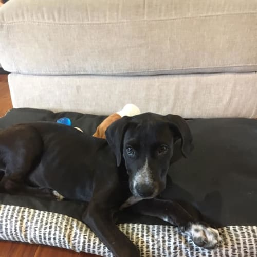 Alexander - Great Dane Dog