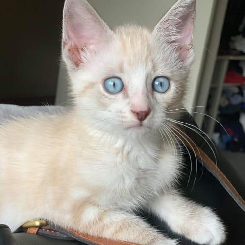 Brooks - Domestic Short Hair Cat