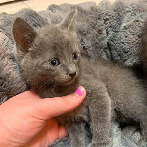 Pirate - Russian Blue Cat