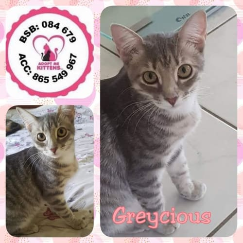 Greycious - Domestic Short Hair Cat