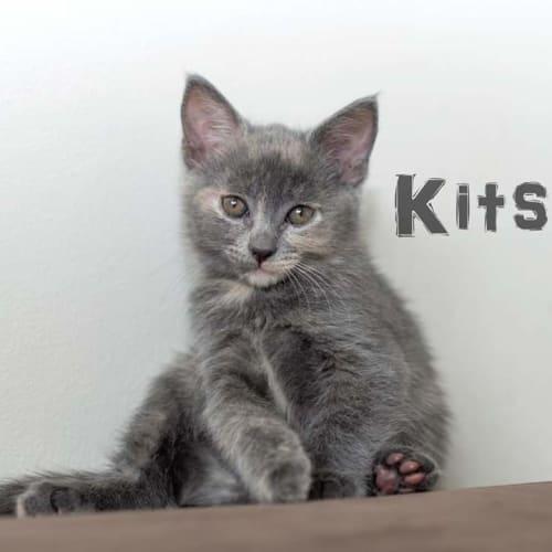 Kitsune - Domestic Medium Hair Cat