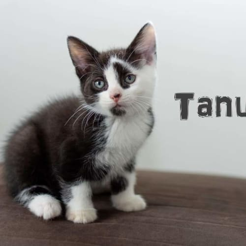 Tanuki - Domestic Medium Hair Cat