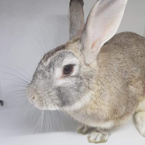 Jumbo - Bunny x Flemish Giant Rabbit