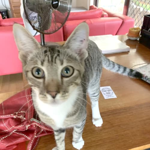 Alexander - Domestic Short Hair Cat