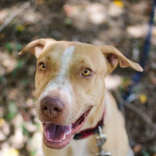 Goldie - Staffordshire Bull Terrier Dog