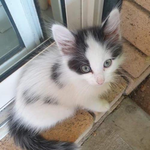 Matty - Domestic Medium Hair Cat