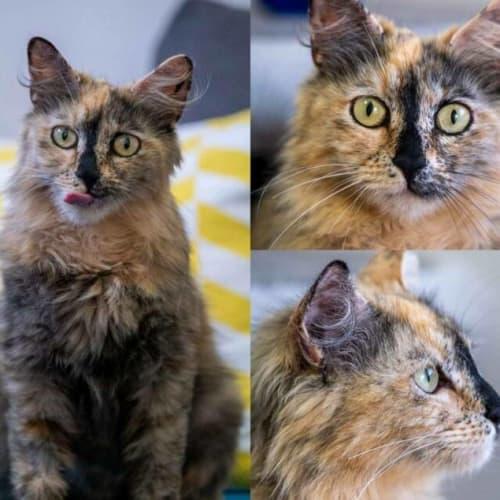 2107 - Jenipher - Domestic Medium Hair Cat