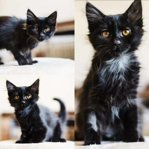 2103 - Botan - Domestic Long Hair Cat