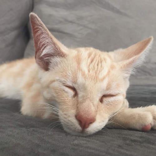 Rambo - Domestic Short Hair Cat
