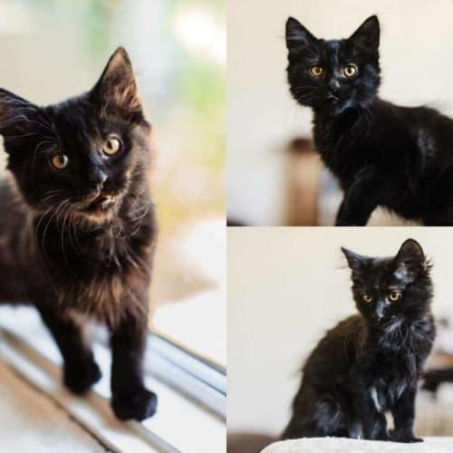 2102 - Keiki - Domestic Long Hair Cat
