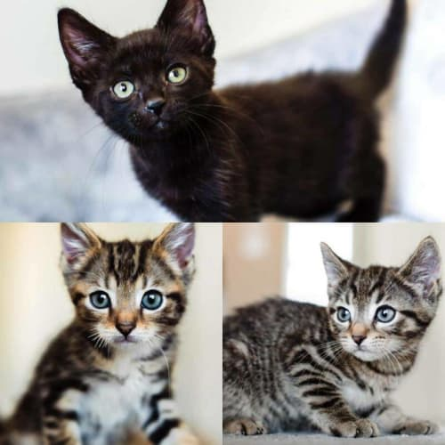 2062/2065/2067 - Luka Nero & Cereza - Domestic Short Hair Cat