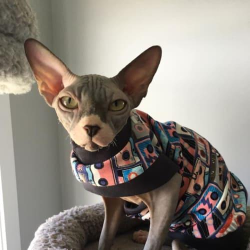 Sylvester - Sphynx Cat
