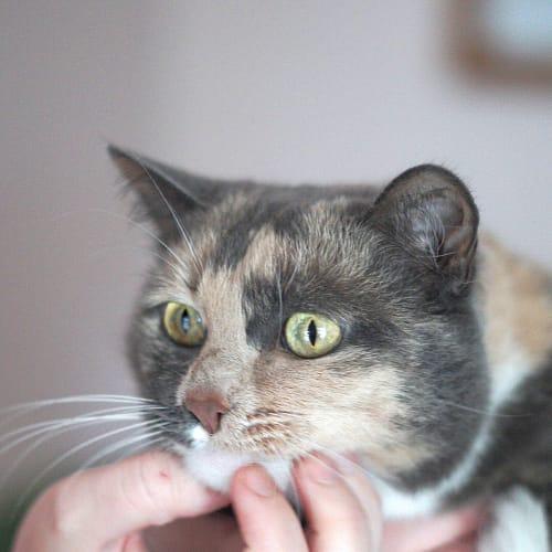 Mitsy ~ 7 year old British Shorthair x - British Shorthair Cat