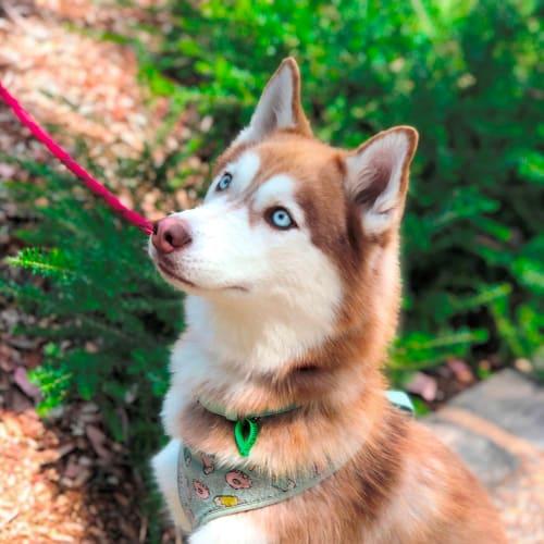 Leia - Siberian Husky Dog