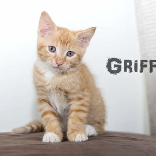 Griffin - Domestic Medium Hair Cat